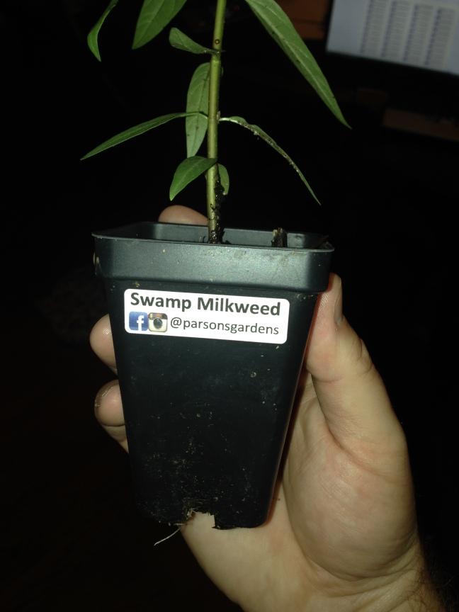 swamp-milkweed-market-plant