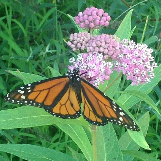 Swamp Milkweed & Monarch Label Pic