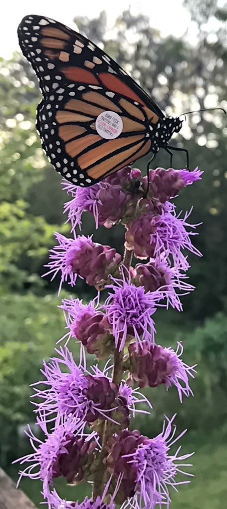 Tagged Monarch